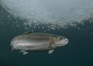 Trout in the rain.